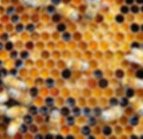 Honig Bienen Elbbiene.jpg