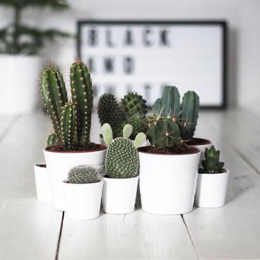 Cactus, la mejor opción!!