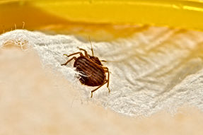 Adult Bed Bugs, Imperial Pest Prevention, Pest Prevention and Control Daytona Beach, Pest Control, Pest Control Company, Pest Control Daytona Beach, Pest Control Ormond Beach, Pest Control Company Daytona Beach, Pest Control Company Ormond Beach