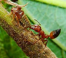 acrobat ants, Pest Control, Pest Control Company, Pest Control Daytona Beach, Pest Control Ormond Beach, Pest Control Company Daytona Beach, Pest Control Company Ormond Beach
