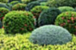 shrubs spraying service