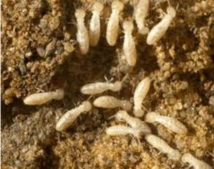 Subterranean Termite Workers