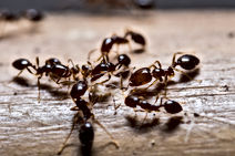 Fire Ant in Florida, Pest Control, Pest Control Company, Pest Control Daytona Beach, Pest Control Ormond Beach, Pest Control Company Daytona Beach, Pest Control Company Ormond Beach