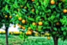 Citrus Tree Spray Service