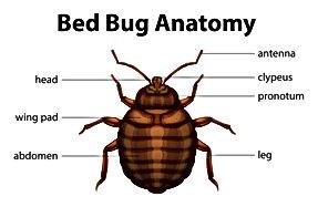 Bed Bug Anatomy, Pest Control, Pest Control Company, Pest Control Daytona Beach, Pest Control Ormond Beach, Pest Control Company Daytona Beach, Pest Control Company Ormond Beach