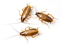 German Roach, Blattella Germanica, Pest Control, Pest Control Company, Pest Control Daytona Beach, Pest Control Ormond Beach, Pest Control Company Daytona Beach, Pest Control Company Ormond Beach
