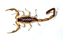 Guiana Scorpions in Florida, Pest Control, Pest Control Company, Pest Control Daytona Beach, Pest Control Ormond Beach, Pest Control Company Daytona Beach, Pest Control Company Ormond Beach