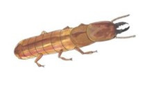 Drywood Termite Soldier Identification