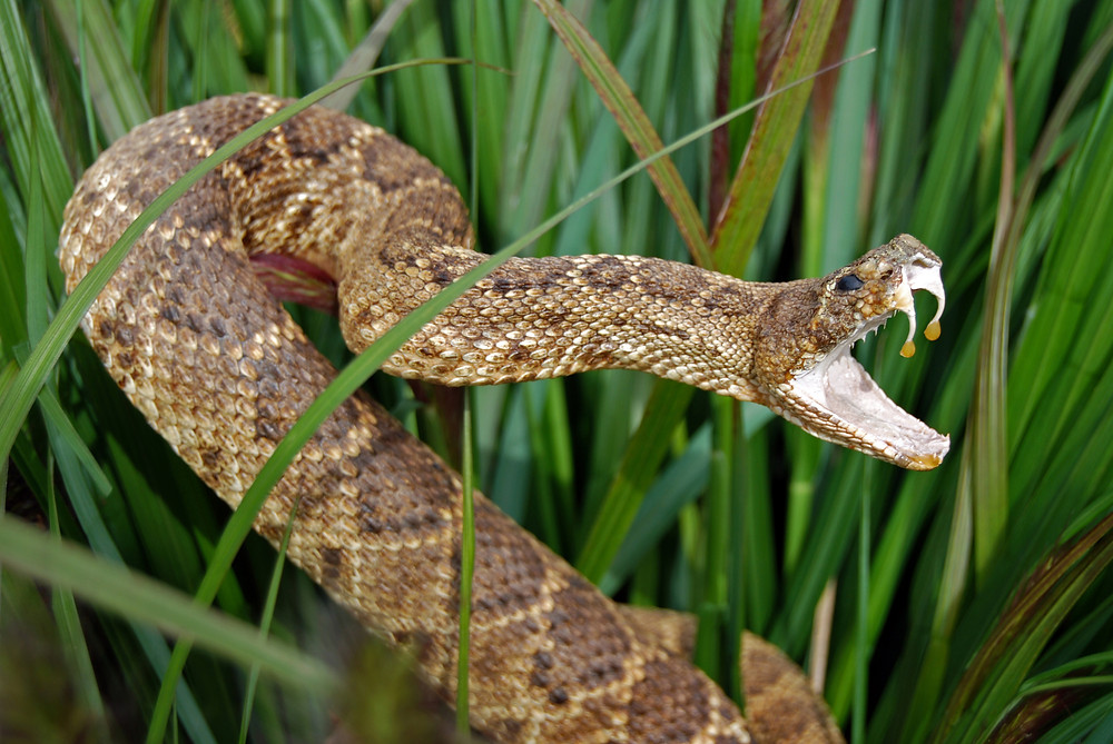 Venomous snake striking