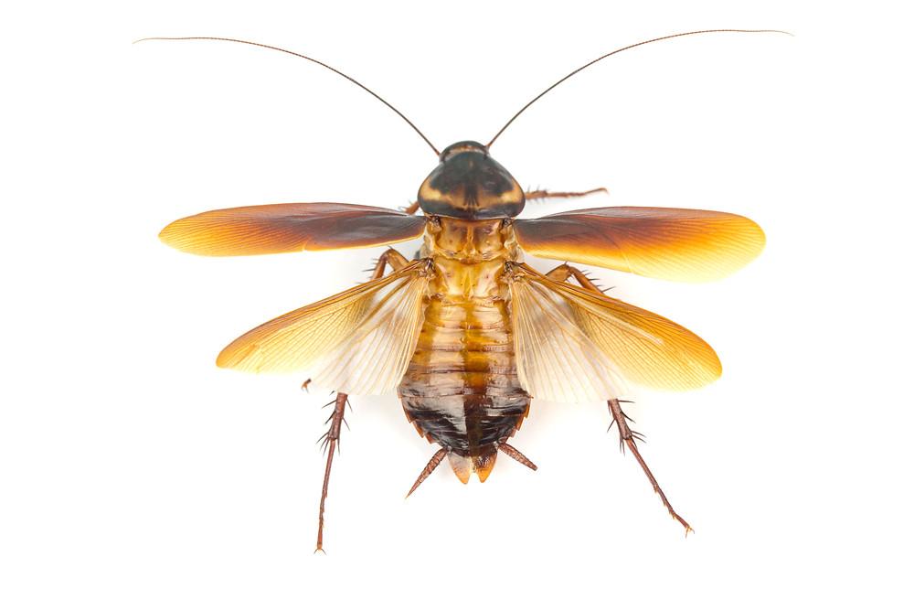 Palmetto Bug Flying