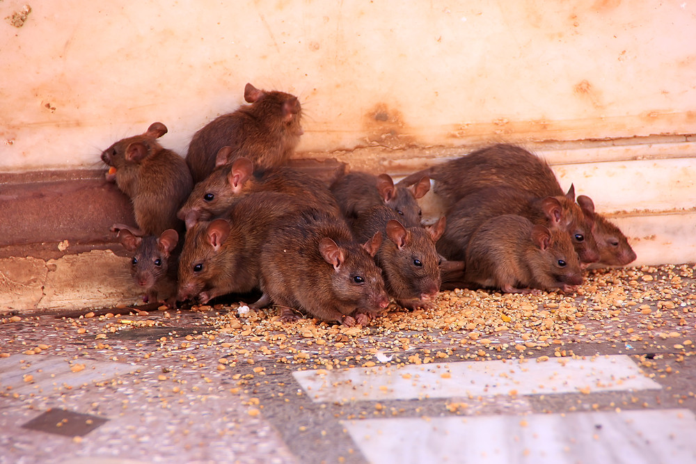Nesting Rats for Rodent Abatement