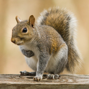 How to get rid of Squirrels at home?