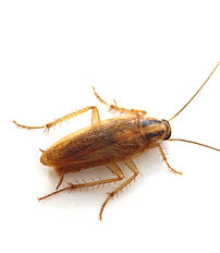 Brown Banded Roach, Supella longipalpa (Serville), Pest Control, Pest Control Company, Pest Control Daytona Beach, Pest Control Ormond Beach, Pest Control Company Daytona Beach, Pest Control Company Ormond Beach