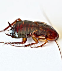 Smokey Brown Roach, Pest Control, Pest Control Company, Pest Control Daytona Beach, Pest Control Ormond Beach, Pest Control Company Daytona Beach, Pest Control Company Ormond Beach