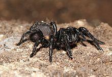 Australian funnel-web spider