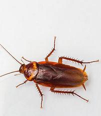 American Roach, Periplaneta Americana, Pest Control, Pest Control Company, Pest Control Daytona Beach, Pest Control Ormond Beach, Pest Control Company Daytona Beach, Pest Control Company Ormond Beach