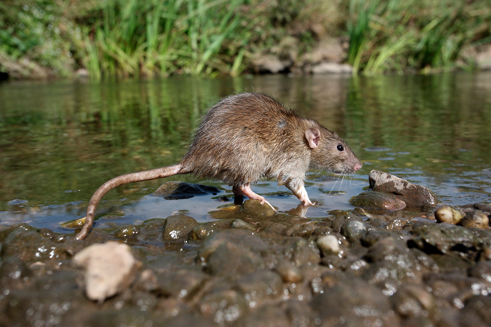 rat running along water bank
