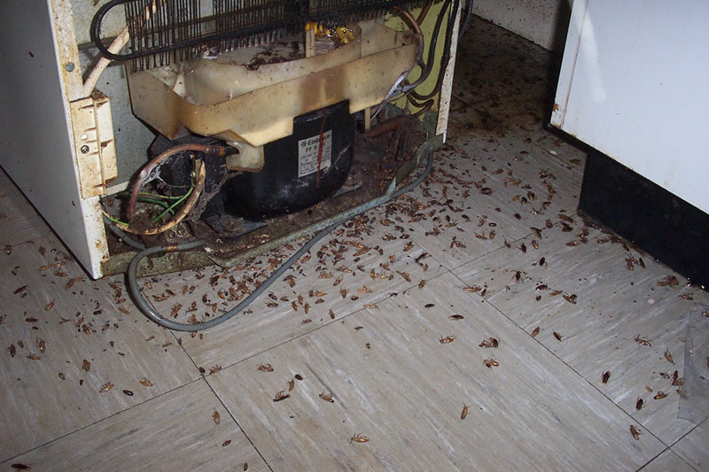 Dead cockroaches from an infested refrigerator