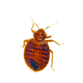 Bugs That Have Been Mistaken As Bed Bugs