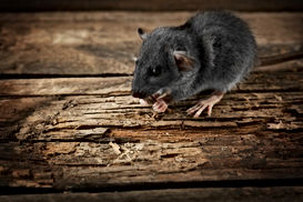Rats Palm Coast, Pest Control, Pest Control Company, Pest Control Daytona Beach, Pest Control Ormond Beach, Pest Control Company Daytona Beach, Pest Control Company Ormond Beach