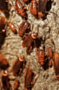 Roach exterminator Daytona Beach
