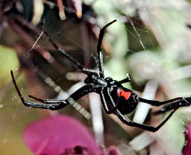 Female Black Widow in Florida, Pest Control, Pest Control Company, Pest Control Daytona Beach, Pest Control Ormond Beach, Pest Control Company Daytona Beach, Pest Control Company Ormond Beach