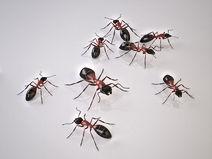 Florida Carpenter Ant, Pest Control, Pest Control Company, Pest Control Daytona Beach, Pest Control Ormond Beach, Pest Control Company Daytona Beach, Pest Control Company Ormond Beach