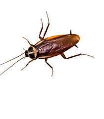Australian Roach, Periplaneta australasiae, Pest Control, Pest Control Company, Pest Control Daytona Beach, Pest Control Ormond Beach, Pest Control Company Daytona Beach, Pest Control Company Ormond Beach