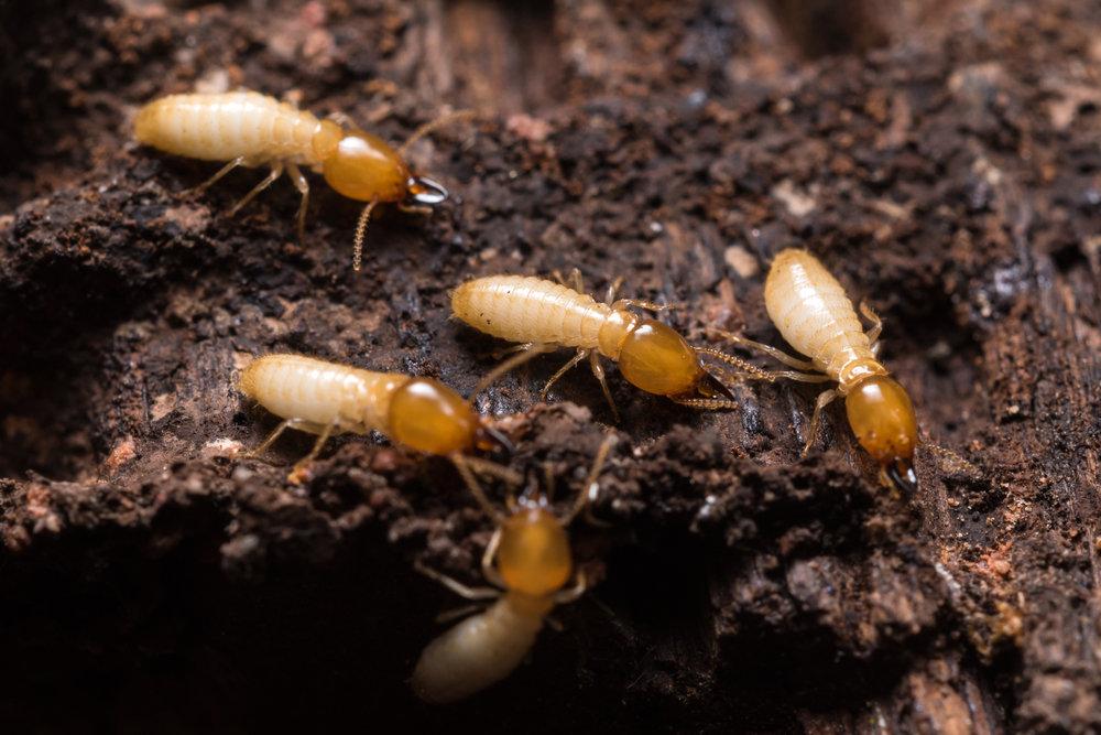 Subterranean Termite Treatment