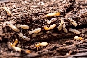 Subterranean Termites, Pest Control, Pest Control Company, Pest Control Daytona Beach, Pest Control Ormond Beach, Pest Control Company Daytona Beach, Pest Control Company Ormond Beach
