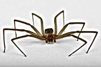 Brown Recluse, Pest Control, Pest Control Company, Pest Control Daytona Beach, Pest Control Ormond Beach, Pest Control Company Daytona Beach, Pest Control Company Ormond Beach