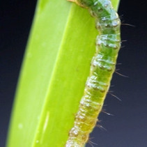 What Are Sod Webworms?