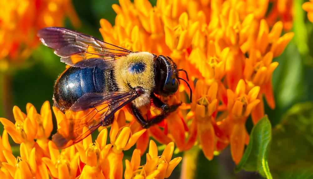 Carpenter Bee Feeding On Yellow Flower