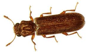 Powder Post Beetle Image