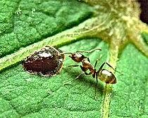 Argentine ants, Pest Control, Pest Control Company, Pest Control Daytona Beach, Pest Control Ormond Beach, Pest Control Company Daytona Beach, Pest Control Company Ormond Beach