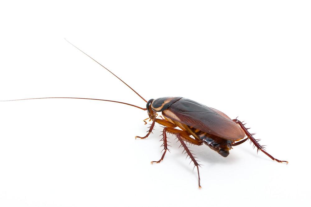 Palmetto Bug Image
