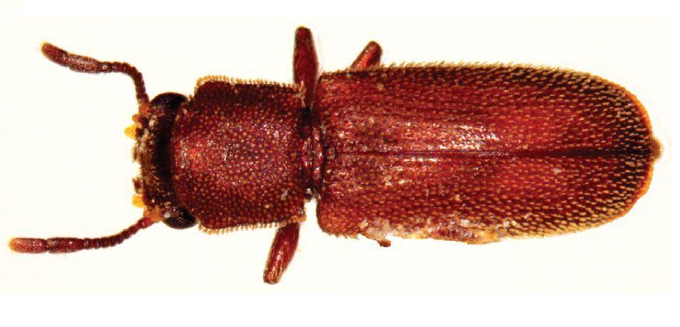 Powderpost Beetle Image