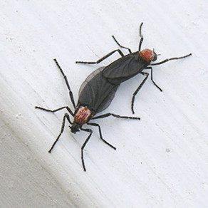 What are Love Bugs, and How Can I Eliminate them?