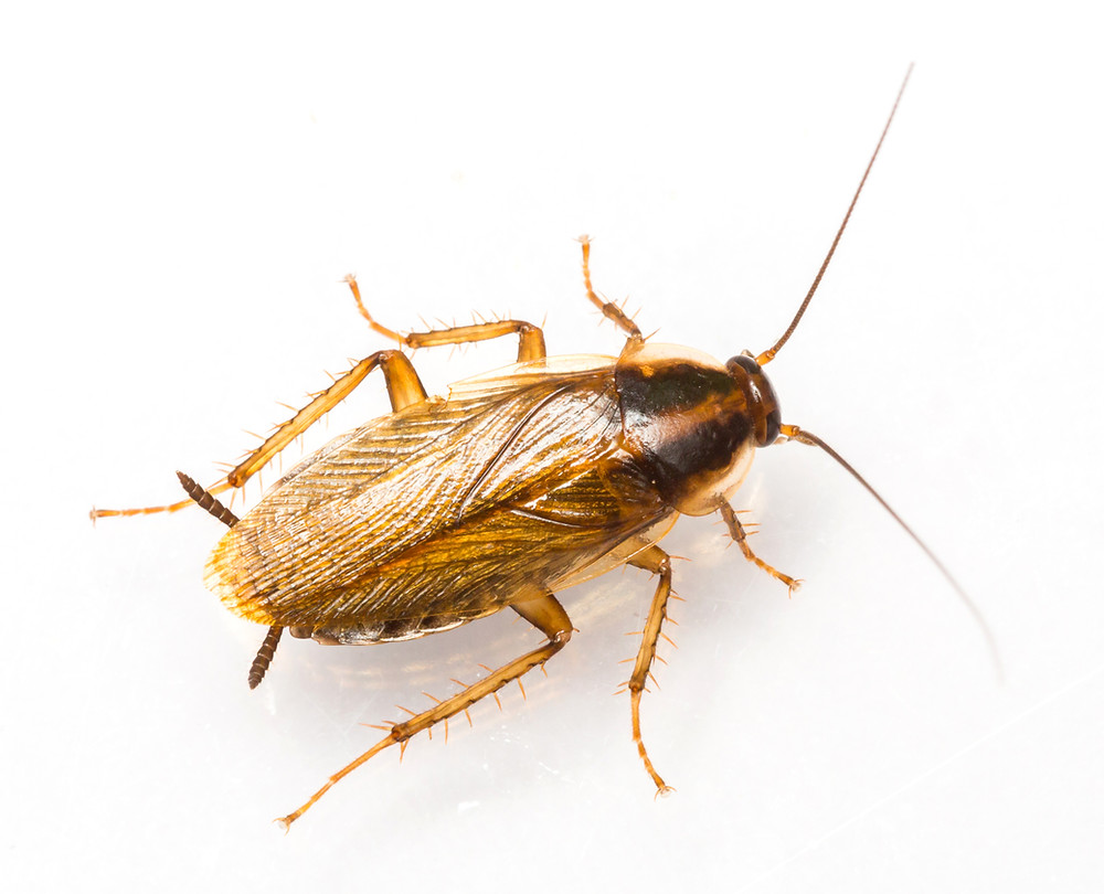 Adult German Cockroach Image