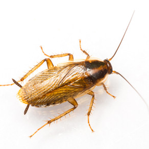 How to Spot and Eliminate a German Cockroach Infestation in Your Home