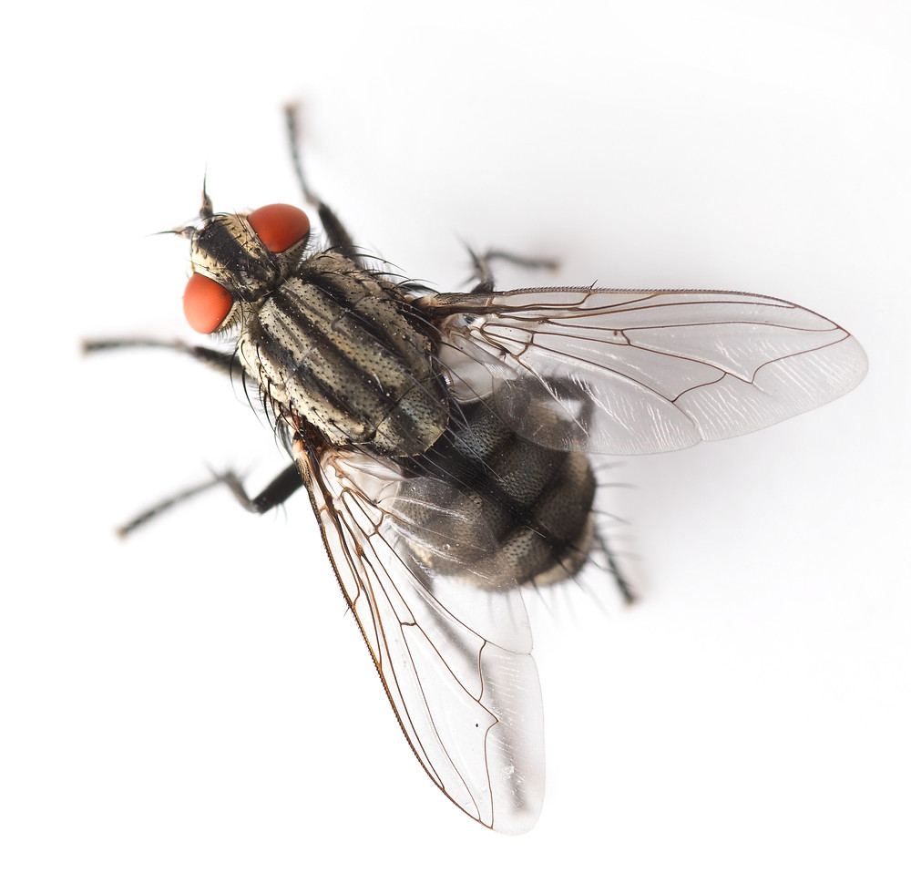 House Fly Image