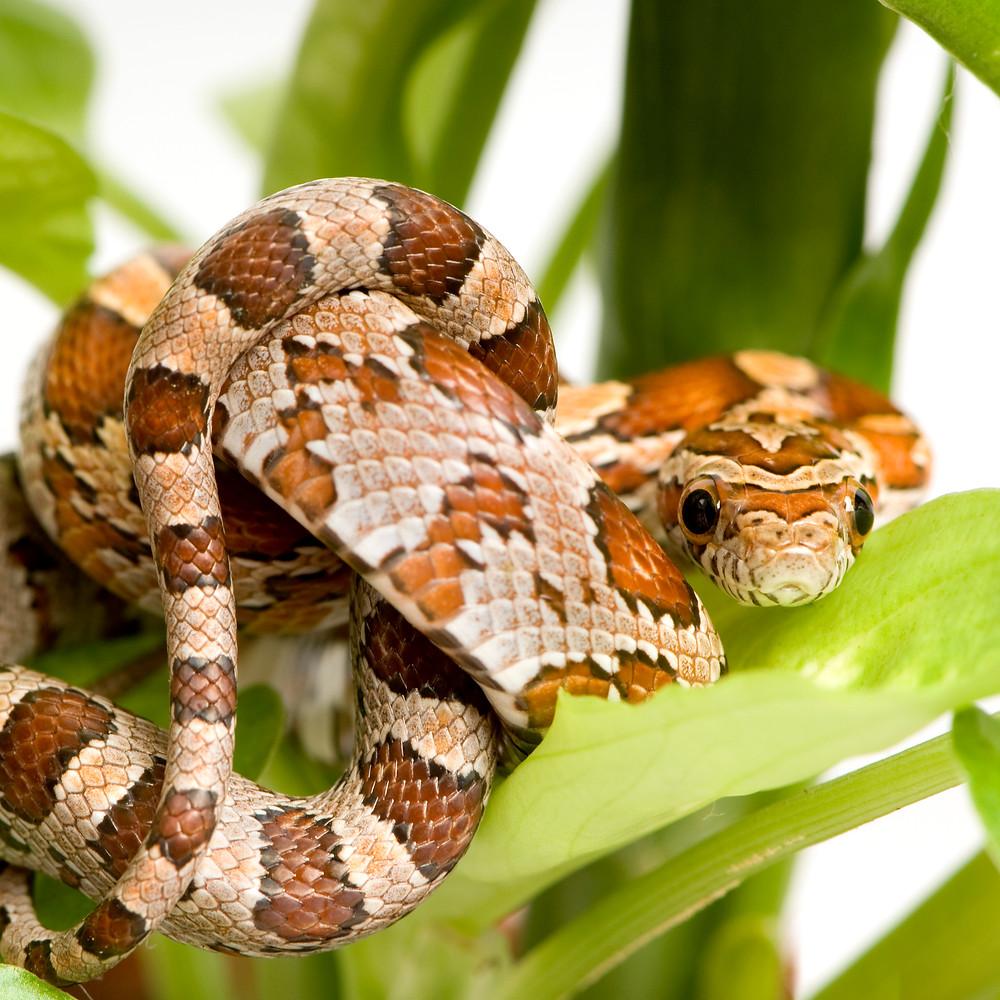 Snake in Hiding