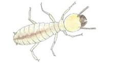 Drywood Termite Worker Identification
