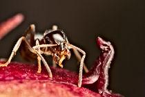 pharaoh ant (Monomorium pharaonis), Pest Control, Pest Control Company, Pest Control Daytona Beach, Pest Control Ormond Beach, Pest Control Company Daytona Beach, Pest Control Company Ormond Beach
