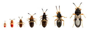 Life cycle and identification chart for chinch bugs