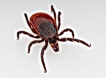 Adult Tick, Pest Control, Pest Control Company, Pest Control Daytona Beach, Pest Control Ormond Beach, Pest Control Company Daytona Beach, Pest Control Company Ormond Beach