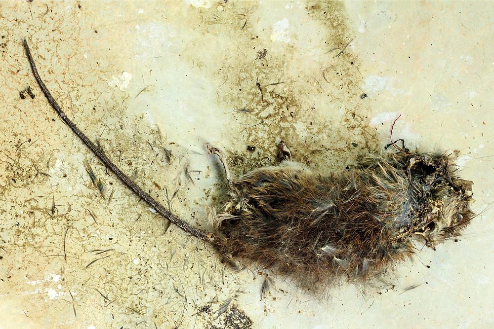 decaying rat image