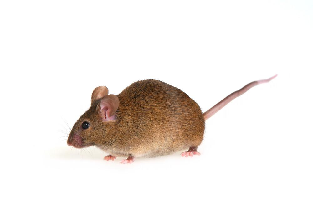 mouse image closeup