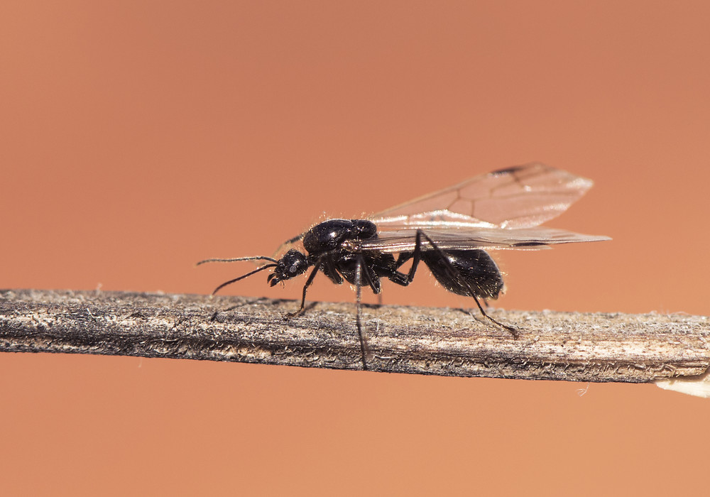 Winged Ant Imperial Pest Prevention