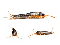 Silverfish, Pest Control, Pest Control Company, Pest Control Daytona Beach, Pest Control Ormond Beach, Pest Control Company Daytona Beach, Pest Control Company Ormond Beach